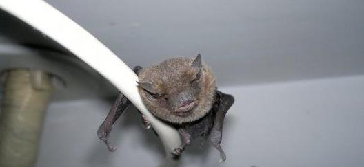 蝙蝠飞到家里是什么预兆 要不要驱赶 碰到的地方要消毒吗