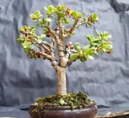 能带来财运和幸福的培栽植物 看看你家适合哪一种
