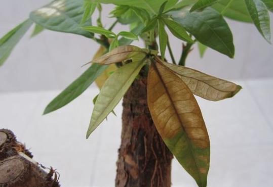 发财树叶子干枯是怎么回事?有什么解决的办法吗?